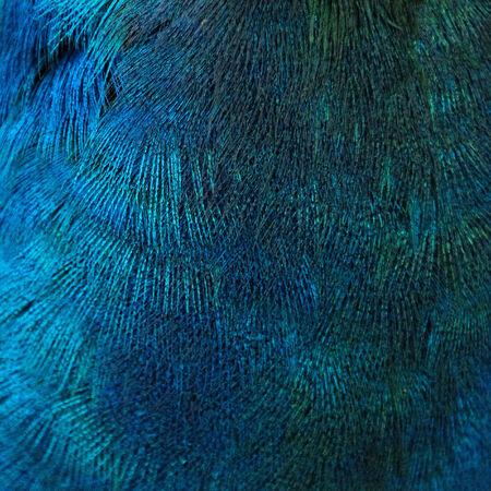 pluma de pavo real: Un primer de las plumas azules del ave (pavo real)