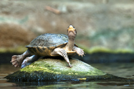 yeloow: A turtle lying on stone in the water