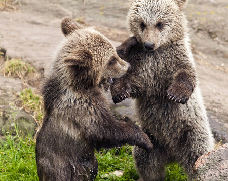A closeup of two young bears playing together. photo