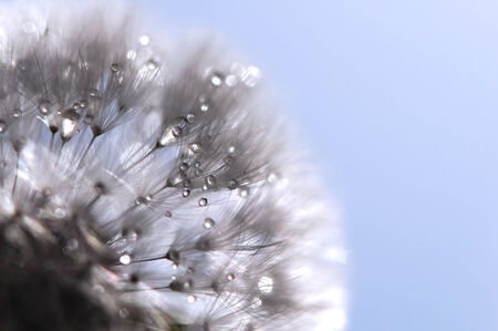 A closeup of a dandelion with water drops photo