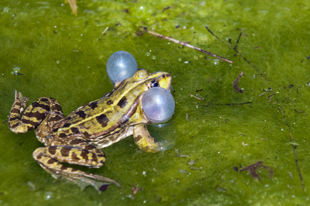 croaking: A brown-green frog croaking (call) in the shallow water