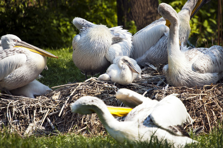 A shot of a young pelican in the nest