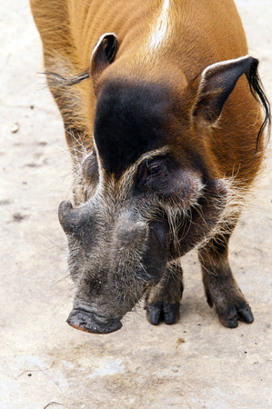 bush hog: A red river hog, also known as the bush pig Stock Photo