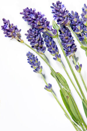 sprigs: A shot of lavender sprigs on the white background Stock Photo