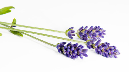 A shot of three sprigs of lavender on the white background