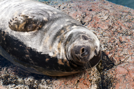 generalized: A seal lying on a stone in sea water (Pinnipeds, often generalized as seals) Stock Photo