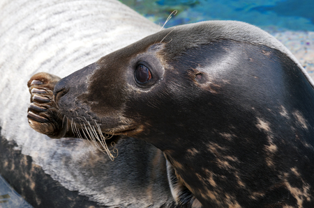 pinniped: Closeup of the head of a seal (Pinniped) Stock Photo