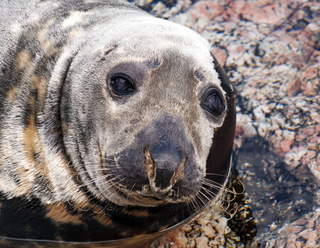 generalized: Closeup of the head of a seal (Pinnipeds, often generalized as seals)