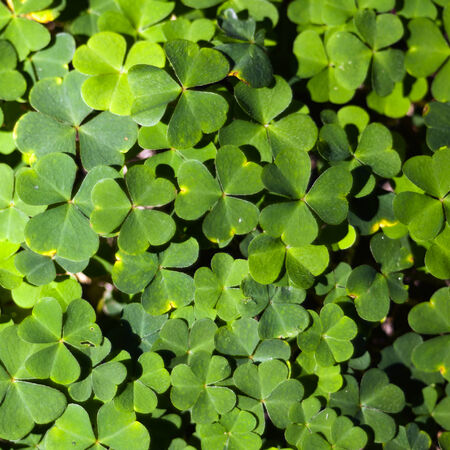 wood sorrel: Wood sorrel or common wood sorrel growing in a forest