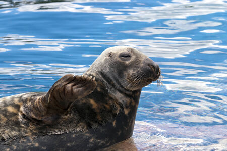generalized: A seal lying on a stone in seawater. (Pinnipeds, often generalized as seals)