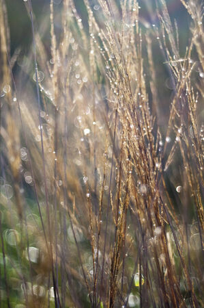 Dry grass with dew drops in autumn (fall). Soft focus. photo