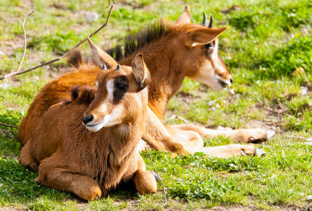 sable: Two young sable antelopes lying on the ground