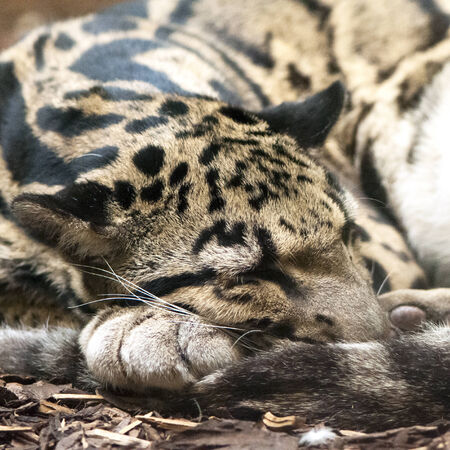 clouded leopard: A clouded leopard sleeping on the ground