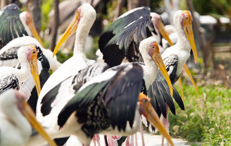 yeloow: A group of several yellow-billed storks (wading bird) Stock Photo