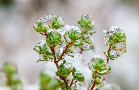water thyme: A closeup of the frozen sprigs of a thyme