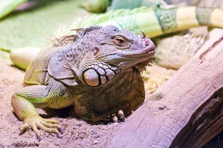 reptilia: The portrait of a green iguana (common iguana)