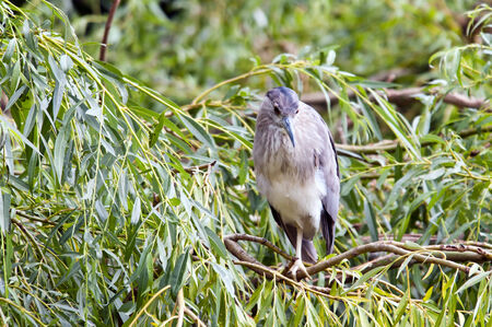 gray herons: A young heron sitting on a branch