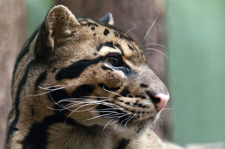 clouded leopard: A closeup of the head of a clouded leopard