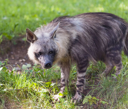 hyena: A hyena in the grass (brown hyena)
