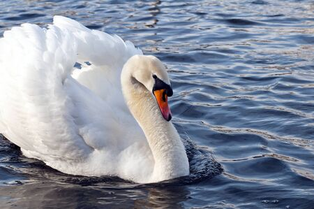 flaunt: A graceful swan in the water Stock Photo