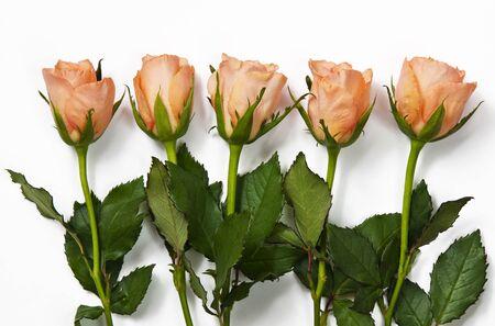 rosas naranjas: Varias rosas de color naranja en el fondo blanco