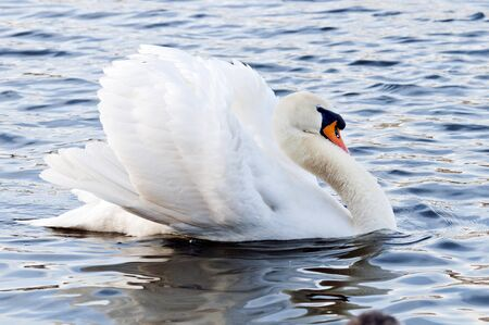 flaunt: A graceful white swan in the water