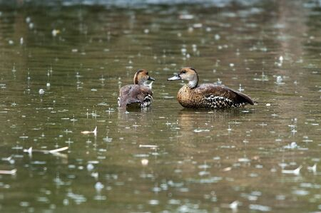 rainy day: Two ducks in the water on a rainy day