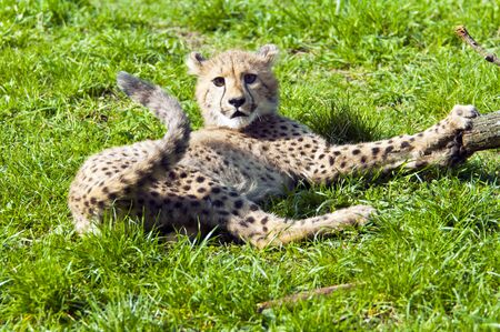 cheetah cub: A cheetah cub lying on the grass