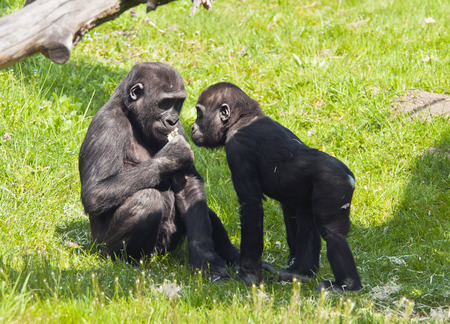 gorillas: Two young gorillas on the grass