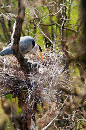 grey heron: One adult grey heron in nest with two chicks