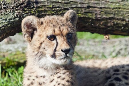 cheetah cub: A closeup of the head of a cheetah cub