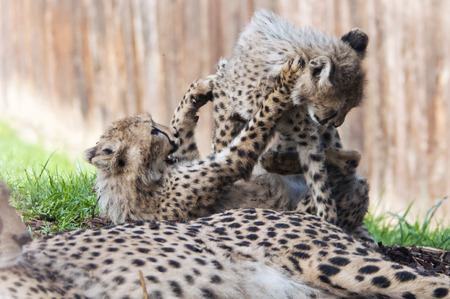 cheetah cub: Two cheetah cubs enjoy play time