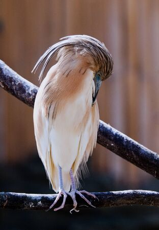 siting: A squacco heron siting on a branch Stock Photo