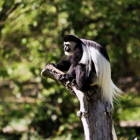 pelage: A guereza sitting on a tree (mantled guereza, also known as the eastern black-and-white colobus, or the Abyssinian black-and-white colobus)