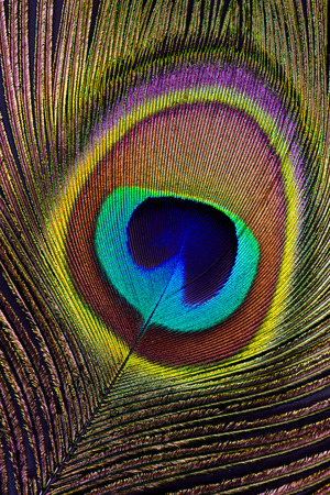 peacock eye: A closeup of a peacock feather detail of eyespot