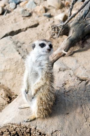 suricate: A meerkat (suricate) standing guard. Stock Photo
