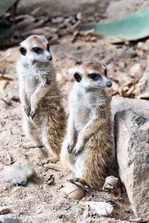 suricate: Two meerkats (suricate) standing guard. Stock Photo