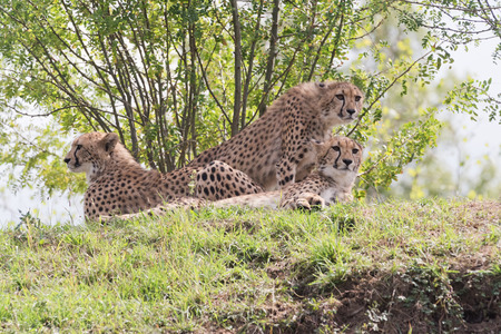 Cheetahs lying on the ground and observing surroundings