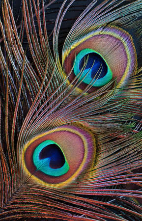 eyespot: A closeup of peacock feathers (black background)