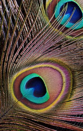 eyespot: A closeup of peacock feathers (background)