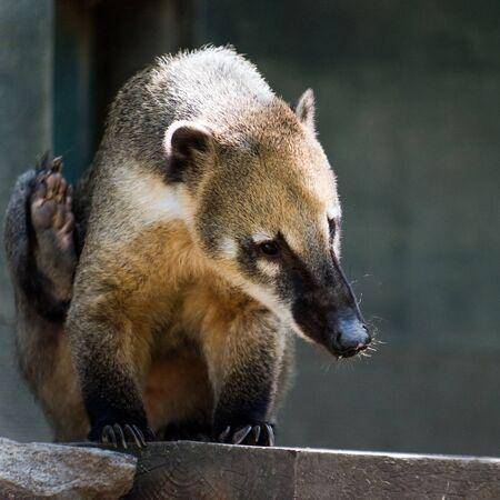 The South American coati, or ring-tailed coati Stock Photo