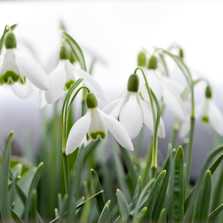 galanthus: Spring flowers in a garden. Snowdrops (Galanthus) Stock Photo
