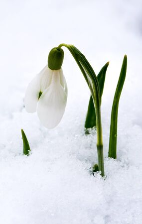 galanthus: A snowdrop blooming in winter (Galanthus) Stock Photo