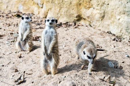 suricate: Meerkat standing guard. (meerkat or suricate)