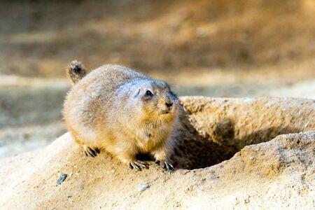 burrow: A black-tailed prairie dog at the burrow entrance