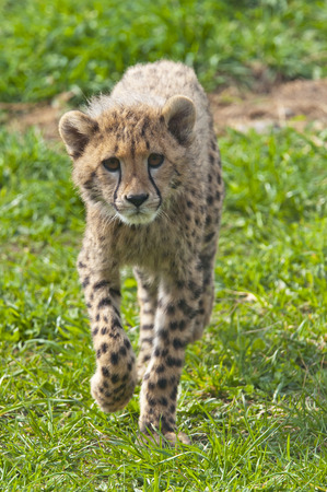 cheetah cub: A shot of a cheetah cub (young cheetah)