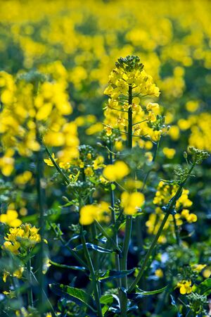 rappi: Rapeseed flower in yellow field of rapeseed Stock Photo