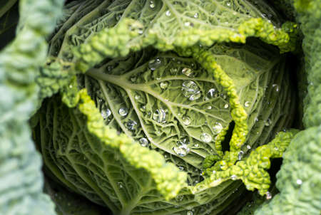 savoy cabbage: Closeup of savoy cabbage leaves with watter drops in a garden