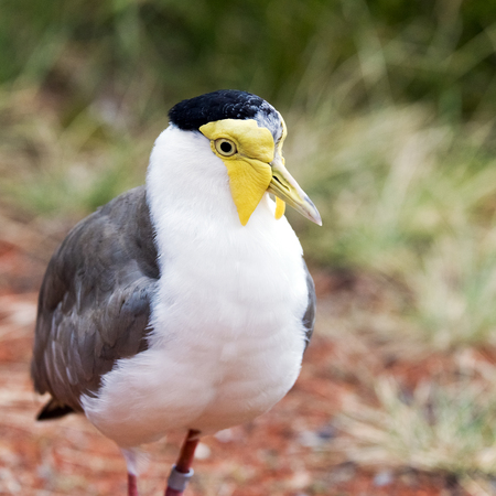 lapwing: A closeup of the head of a masked lapwing (also known as the masked plover)
