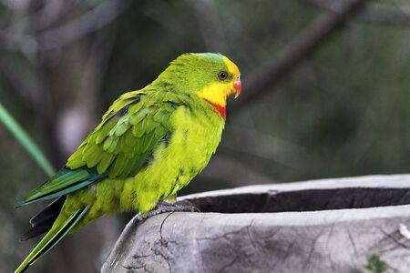 superb: A shot of a superb parrot (side face)